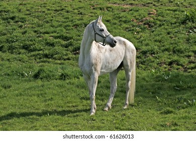 Arabian Horse On A Meadow In Lower Saxony Germany Europe