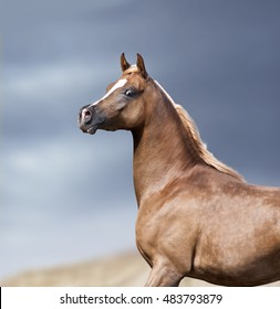 arabian horse portrait in desert