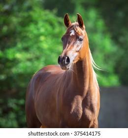 Arabian horse portrait on green background
