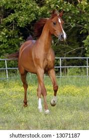 Arabian Horse running in field.