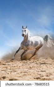 arabian horse runs gallop in the dust desert