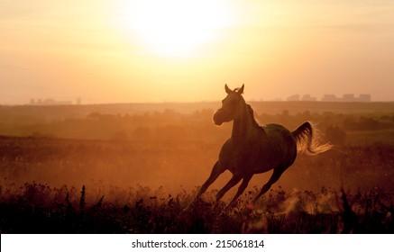 arabian horse silhouette on sunset