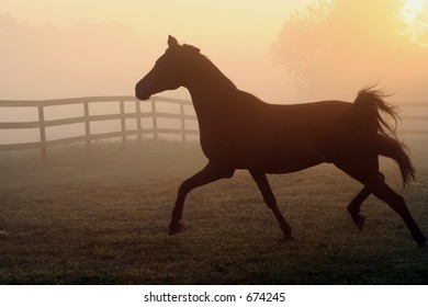 Arabian horse silhouette trotting in morning fog.