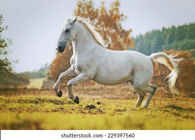 arabian horse stallion running in nature sunset