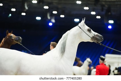 Arabian horse world championship, Nord Villepente in Paris. PARIS CITY, FRANCE- NOVEMBER 24-26: the best purebred arabian horses compete in world championship on november 26, 2017 in Paris, France