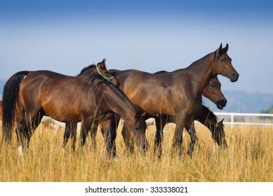 Arabian horses on the autumn pasture