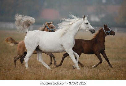 Arabian horses on the autumn pasture