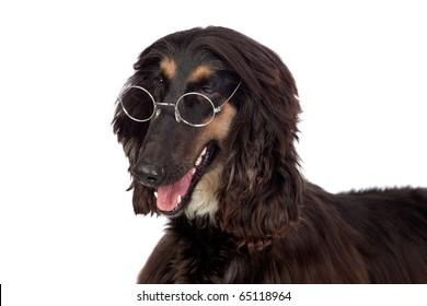 Arabian hound dog with glasses isolated on white background