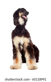 Arabian hound dog isolated on white background
