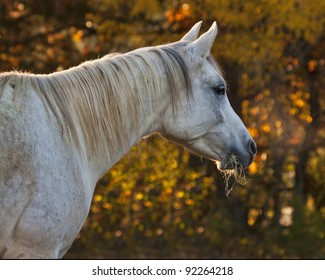Arabian Mare with Fall Background