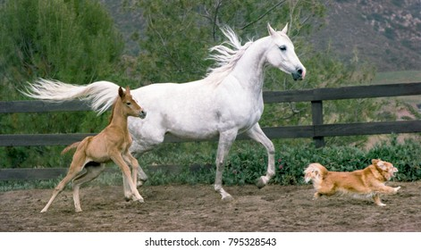 Arabian mare and foal with dog on a horse farm