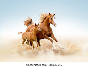 arabian mare and foal runs in the desert