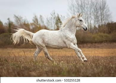 Arabian mare at full gallop in autumn landscape.