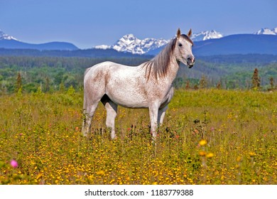 Arabian Mare standing in meadow of flowers, with mountain range in background