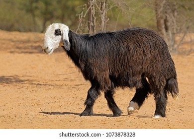 Arabian Nadji - domestic sheep breed of the Najd region of the Arabian Peninsula