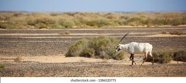 Arabian oryx in semi-desert steppe of Jordan