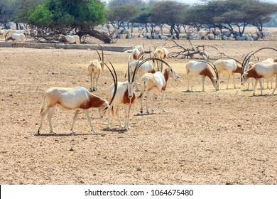 Arabian oryx or white oryx (Oryx leucoryx) medium-sized antelope with long, straight horns and tufted tail. UAE.