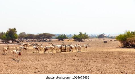Arabian oryx or white oryx (Oryx leucoryx) medium-sized antelope with long, straight horns and tufted tail. Desert UAE. Island Sir Bani Yas.