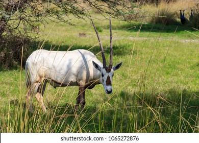 Arabian oryx or white oryx (Oryx leucoryx) medium-sized antelope with long, straight horns and tufted tail. Natural habitat, UAE.