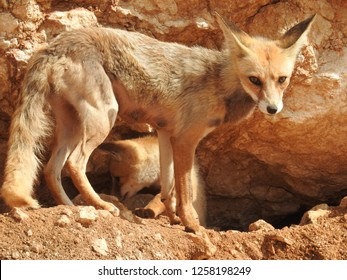 Arabian red fox vixen standing by her burrow and kit