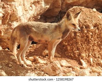 Arabian red fox vixen standing by her burrow