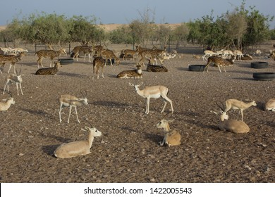 Arabian sand gazelles and spotted deer rest outdoors on Sir Bani Yas Island, United Arab Emirates.