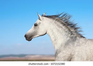 Arabian stallion portrait in movement over a nature background