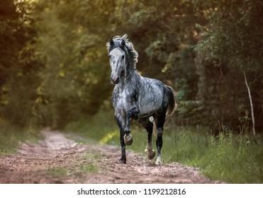 Arabian stallion running free in the morning forest.