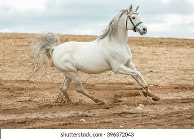 Arabian stallion running at a sea beach.
