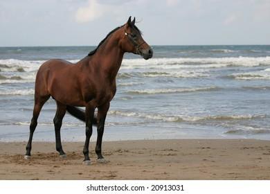 An Arabian stallion standing on the beach