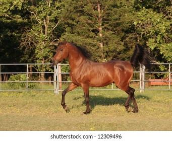 Arabian stallion trotting in arena