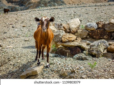 Arabian tahr - a type of mountain goat in Al Hajar mountains in Fujairah, UAE