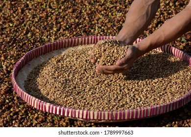 Arabica coffee beans in the hand.  Indonesian Arabica Coffee.  Arabica coffee beans.