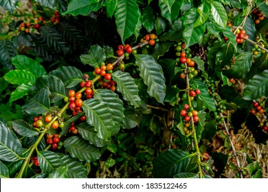 Arabica coffee. Coffee beans ready to pick. Fresh roasted coffee beans. Coffee plants to mature