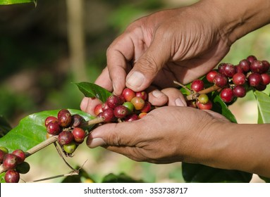 arabica coffee berries on hands