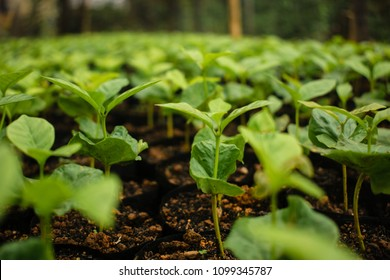 Arabica coffee seedlings