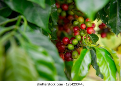 Arabicas Coffee bean on Coffee tree at Doi Chaang in Thailand, Coffee bean Single origin words class specialty.nature background,