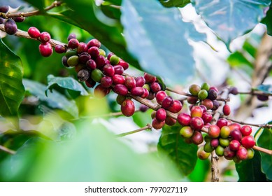 Arabicas Coffee bean on Coffee tree at Doi Chaang in Thailand, Coffee bean Single origin words class specialty.vintage nature background, Coffee background