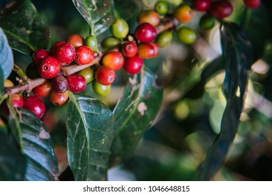 Arabicas Coffee tree at Doi Chaang in Thailand, Coffee bean Single origin words class specialty.vintage nature background,