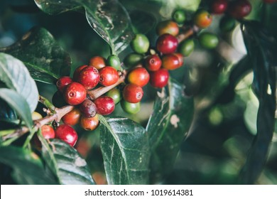 Arabicas Coffee Tree on Coffee tree at Doi Chaang in Thailand, Coffee bean Single origin words class specialty.vintage nature background, Coffee background.vintage tone