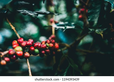 Arabicas Coffee Tree on Coffee tree at Doi Chaang in Thailand, Coffee bean Single origin words class specialty.vintage nature background,