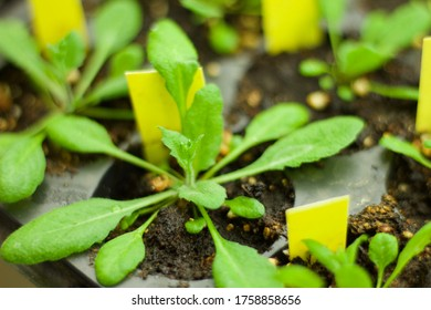 Arabidopsis thaliana growing for biotechnology industry