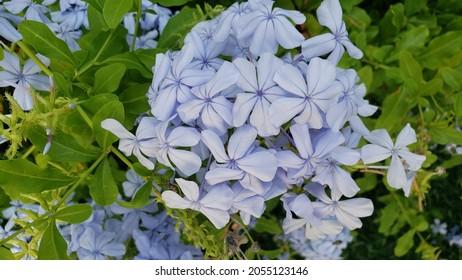 Aracaju, SE, Brasil - October 2, 2021: Blue flowers, grouped in bunches. Scientific name Plumbago capensis, popular names: Bela-emilia, Plumbago, Blue Jasmine, Dentilaria, family: Plumbaginaceae.