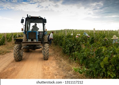Aragatsotn Province, Armenia - September 2018: Women harvesting grapes during harvest while. tractor waits, at a vineyard in Armas Winery, Aragatsotn Province.
