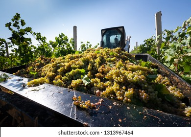 Aragatsotn Province, Armenia - September 2018: Men and women harvesting grapes during harvest at a vineyard in Armas Winery, Aragatsotn Province.