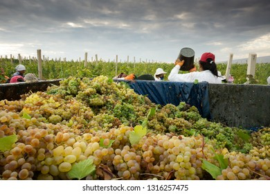Aragatsotn Province, Armenia - September 2018: Women harvesting grapes during harvest at a vineyard in Armas Winery, Aragatsotn Province.