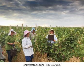 Aragatsotn Province, Armenia - September 2018: Women harvesting grapes during harvest at a vineyard in Armas Winery, Aragatsotn Province.