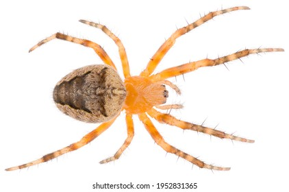 Araneus diadematus is also called the European garden spider, diadem spider, orangie, cross spider and crowned orb weaver. Orb-weaver spider isolated on white background.