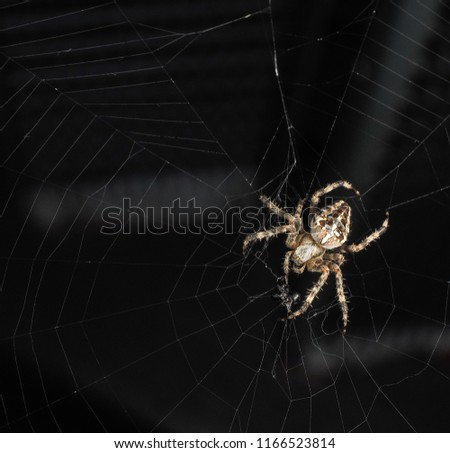 Araneus diadematus, Cross spider at closeup, with copy space in web towards black