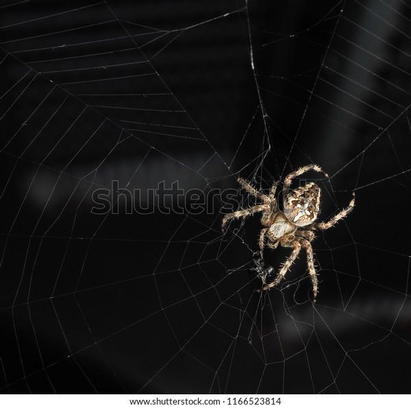 Araneus diadematus, Cross spider at closeup, with copy space in web towards black